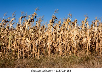Corn field with dried yellow corn plants with blue sky in background - concept climate change harvest season time organic food nature environment pollution famine hunger industry cultivation farming