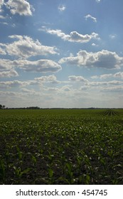 Corn field in early Summer