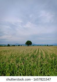 Corn field in the evening
