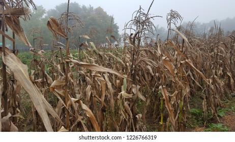 Corn field in the Fall