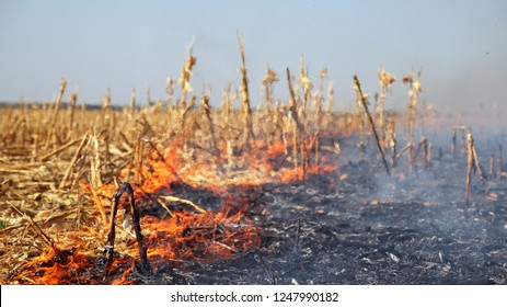 Corn Field Fire - Burning Stalks. Agriculture fields being set afire. Fire burning on the dried cornfield. Close up shot with lots of smoke and heat.