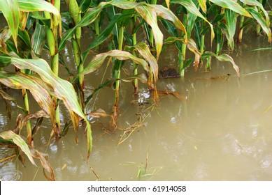 corn field in flood