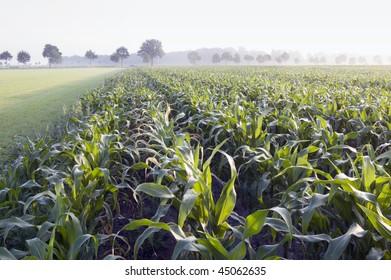 corn field in the foggy morning