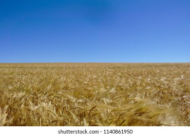 Corn field in front of a deep blue sky in the hot summer