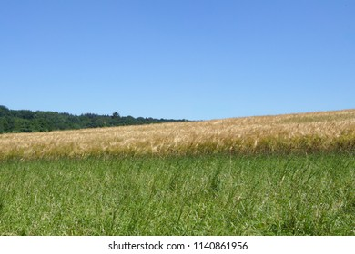 Corn field with grass in the front and a forest in the background