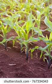 corn field growing up