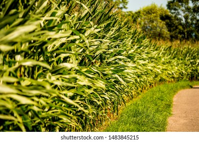 corn, field with growing maize