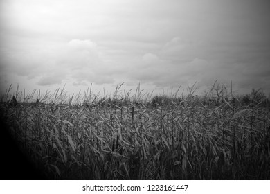 Corn field for halloween background or a horror theme concept print media, poster, has room for text above and below image.