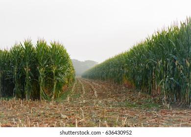 Corn field in harvest