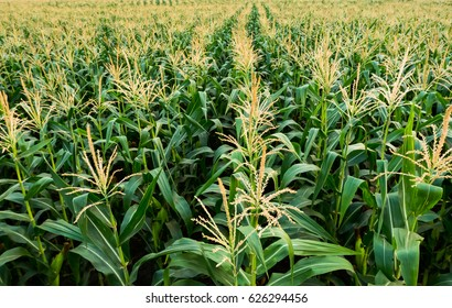corn field have flowers  crane view sun light in the morning