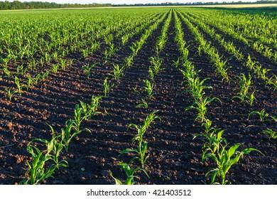 Corn field, Instagram filter.