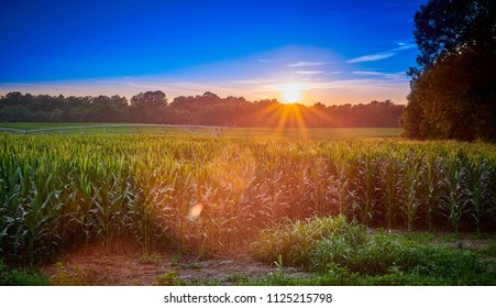 Corn Field with Irrigation System at Sunset