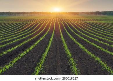 Maïs veld. De lijnen in de natuur. Ochtendlandschap met zonlicht