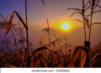 Corn field near lake on mountain in orange sky sunset, Corn field on terrace in green season. Corn field prepare farming in sustainable agriculture