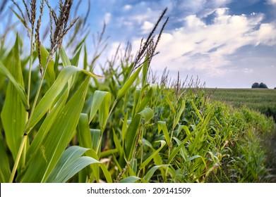 Corn field on a background of blue sky.