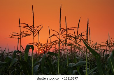 corn field on background of a sunset.