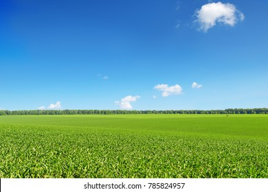 Corn field on bright day on background blue sky and white clouds.