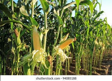 corn field, corn on the cob