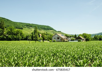 Corn field on the hillside.