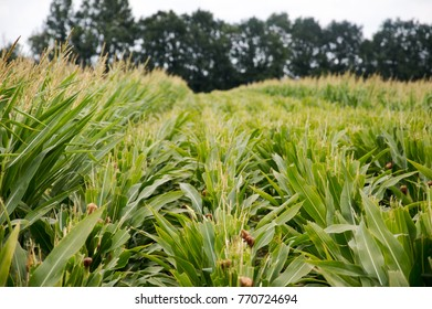 Corn field in the picturesque hills