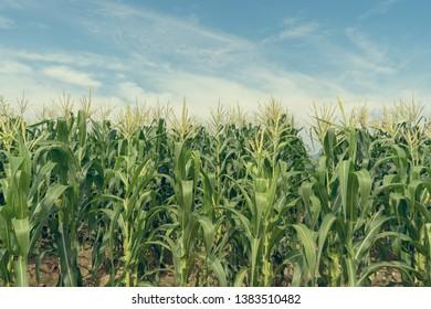 Corn field plantation in sunny day with blue sky, de-tone.