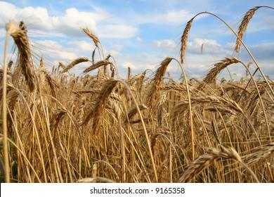 corn field in Poland