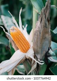 corn field ready for harvest