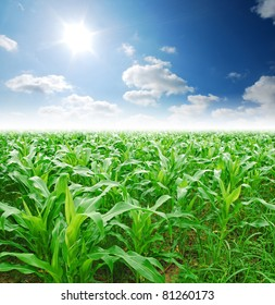 corn field rice background cloudy cloud blue sky landscape