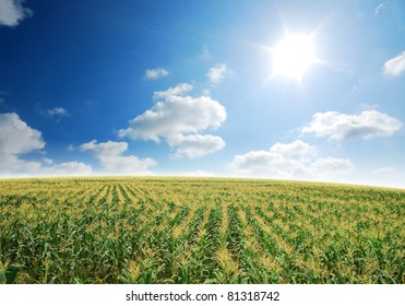 corn field rice background cloudy cloud blue sky landscape nature