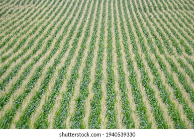 Corn Field Rows In Colorado in the Fall