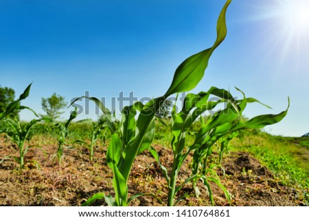 Corn field in rural countryside are. Green, fresh and youg organic maize plant.