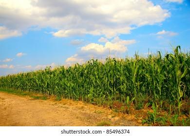 Corn field scene