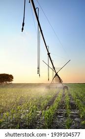 Maisfeld im Frühjahr mit Bewässerungssystem für die Wasserversorgung, Sprinkler, die Wasser an Pflanzen spenden