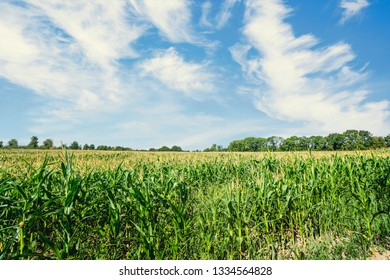 Corn field in the summer with fresh green maize under a blue sky