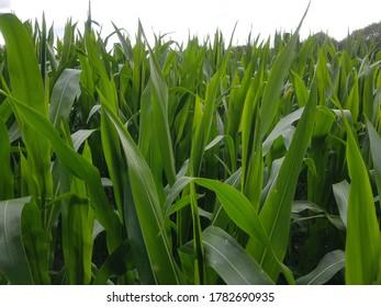 Corn field in summer light