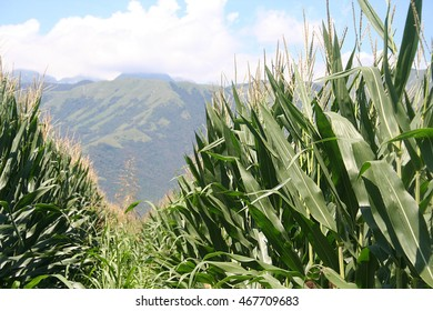 corn field in summer with mountain and blue sky