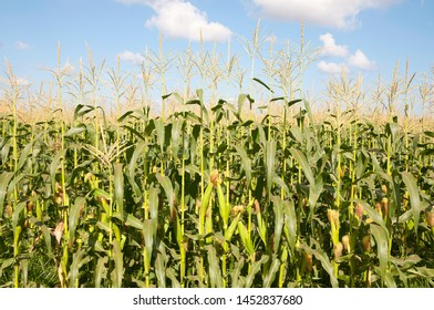 Corn field in summer time