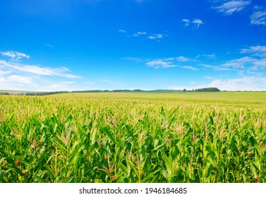 Corn field in the sunny and blue sky. agricultural landscape. - Shutterstock ID 1946184685