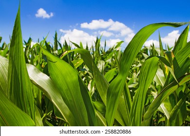 Corn field sunny summer day. Close-up. Focus on foreground