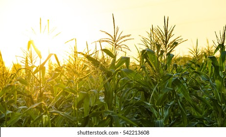 corn field in sunset