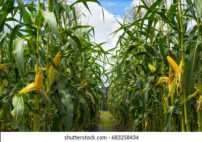 corn field in sunset