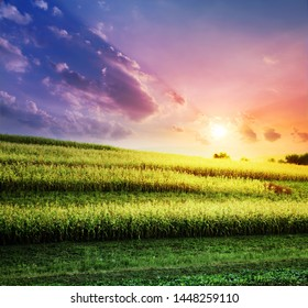 The corn field at a sunset, agriculture