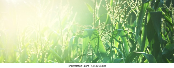 Corn field at sunset, green leaves texture close-up. Panoramic abstract natural pattern. Agriculture, farm, food industry, traditional craft, environmental protections and alternative production