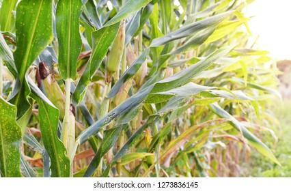 corn field in sunset, organic farm, harvest season, corn crop planting