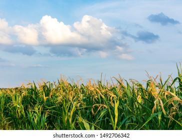 Corn field in sunshine in closeup. Location: Germany, North Rhine-Westphalia, Borken