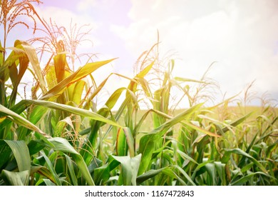 Corn field with Corn tree grow in farm agriculture area / sunrise over on green field background