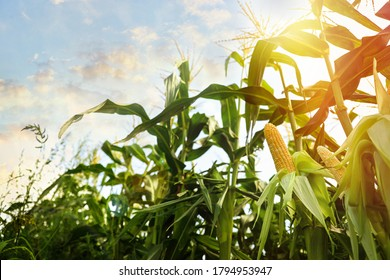 Corn field under beautiful sky with sun, low angle view