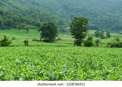 corn field veiw behind the mountain