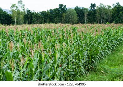 corn field view,corn tree at farm land