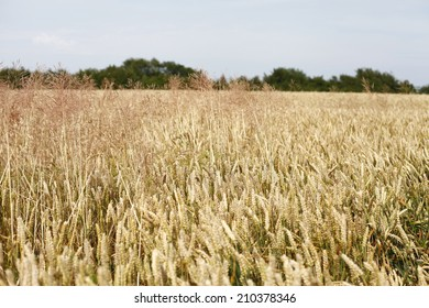 corn field, wheat field, bread in the cornfield